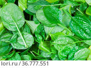 Natural food background - many fresh leaves of spinach herb close up. Стоковое фото, фотограф Zoonar.com/Valery Voennyy / easy Fotostock / Фотобанк Лори