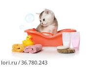 Cute little Scottish kitten takes a bath over white. Стоковое фото, фотограф Алексей Кузнецов / Фотобанк Лори