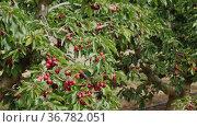 Cherry tree in the sunshine, organic fruits on the tree on a farm. Стоковое видео, видеограф Яков Филимонов / Фотобанк Лори