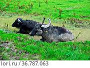 Albbüffel (Bubalus albensis) auf der Schwäbischen Alb nehmen ein Schlammbad... Стоковое фото, фотограф Zoonar.com/Jürgen Vogt / easy Fotostock / Фотобанк Лори
