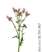 Acker-Kratzdistel (Cirsium arvense) Стоковое фото, фотограф Zoonar.com/Robert Biedermann / easy Fotostock / Фотобанк Лори