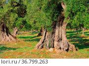 Olivenbaum Stamm - olive tree trunk 20. Стоковое фото, фотограф Zoonar.com/Liane Matrisch / easy Fotostock / Фотобанк Лори