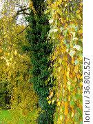 Birkenbäume im Herbst, Birke (Betula), Stamm mit Efeu bewachsen, Стоковое фото, фотограф Zoonar.com/Bildagentur Geduldig / easy Fotostock / Фотобанк Лори