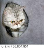 portrait of a large beautiful cat of British breed. Стоковое фото, фотограф Акиньшин Владимир / Фотобанк Лори