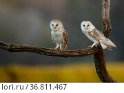Barn owls (Tyto alba) perched on tree branch, late evening. Northamptonshire, UK, May. Стоковое фото, фотограф Danny Green / Nature Picture Library / Фотобанк Лори
