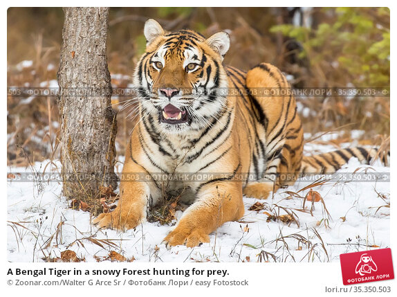 A Bengal Tiger in a snowy Forest hunting for prey. Стоковое фото, фотограф Zoonar.com/Walter G Arce Sr / easy Fotostock / Фотобанк Лори