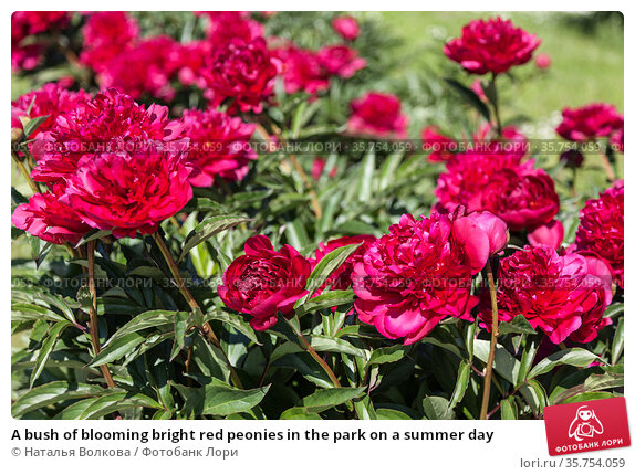 A bush of blooming bright red peonies in the park on a summer day. Стоковое фото, фотограф Наталья Волкова / Фотобанк Лори