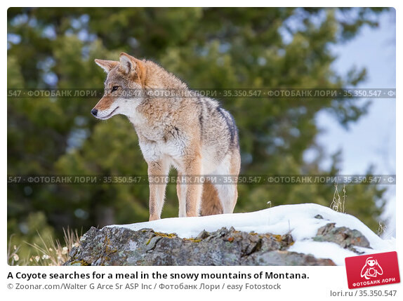 A Coyote searches for a meal in the snowy mountains of Montana. Стоковое фото, фотограф Zoonar.com/Walter G Arce Sr ASP Inc / easy Fotostock / Фотобанк Лори