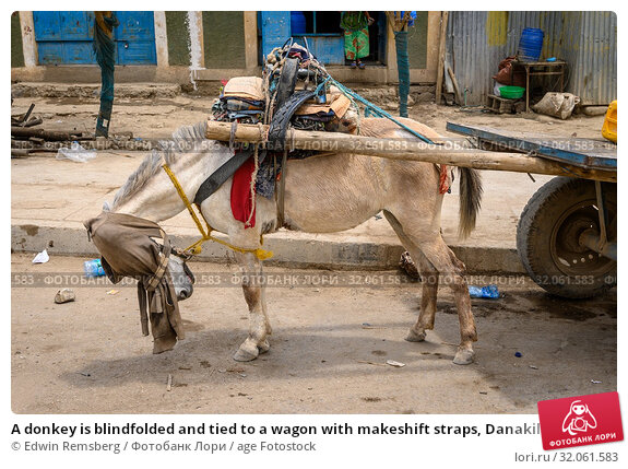 A donkey is blindfolded and tied to a wagon with makeshift straps, Danakil Depression , Ethiopia. Стоковое фото, фотограф Edwin Remsberg / age Fotostock / Фотобанк Лори