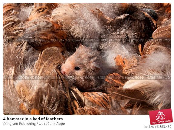 Купить «A hamster in a bed of feathers», фото № 6383459, снято 18 ноября 2019 г. (c) Ingram Publishing / Фотобанк Лори