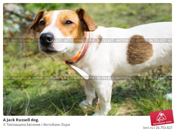 A Jack Russell dog., фото № 26753827, снято 8 августа 2017 г. (c) Типляшина Евгения / Фотобанк Лори