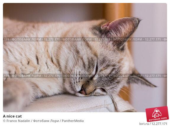 Купить «A nice cat», фото № 12277171, снято 19 ноября 2017 г. (c) PantherMedia / Фотобанк Лори