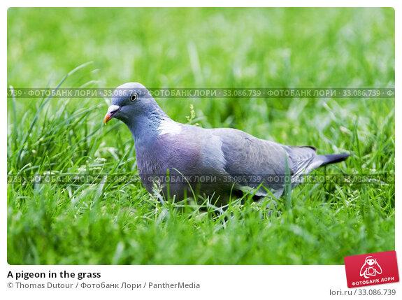 Купить «A pigeon in the grass», фото № 33086739, снято 18 февраля 2020 г. (c) PantherMedia / Фотобанк Лори