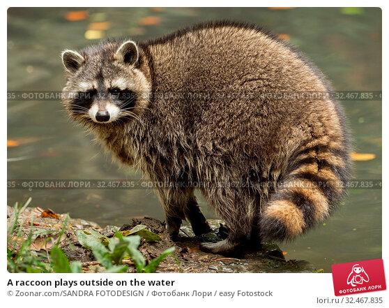 Купить «A raccoon plays outside on the water», фото № 32467835, снято 5 декабря 2019 г. (c) easy Fotostock / Фотобанк Лори