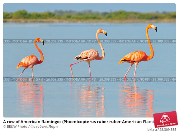Купить «A row of American flamingos (Phoenicopterus ruber ruber-American Flamingo) in the Rio Lagardos, Mexico», фото № 28309335, снято 21 апреля 2018 г. (c) BE&W Photo / Фотобанк Лори