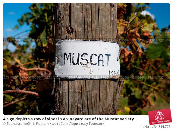 A sign depicts a row of vines in a vineyard are of the Muscat variety... Стоковое фото, фотограф Zoonar.com/Chris Putnam / easy Fotostock / Фотобанк Лори