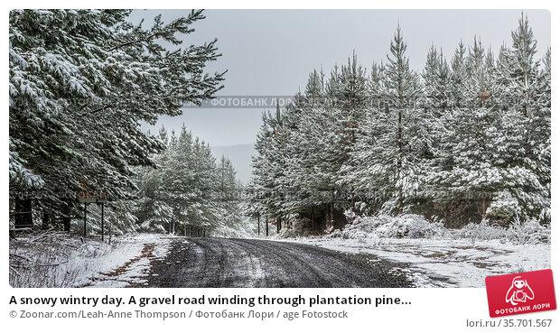A snowy wintry day. A gravel road winding through plantation pine... Стоковое фото, фотограф Zoonar.com/Leah-Anne Thompson / age Fotostock / Фотобанк Лори