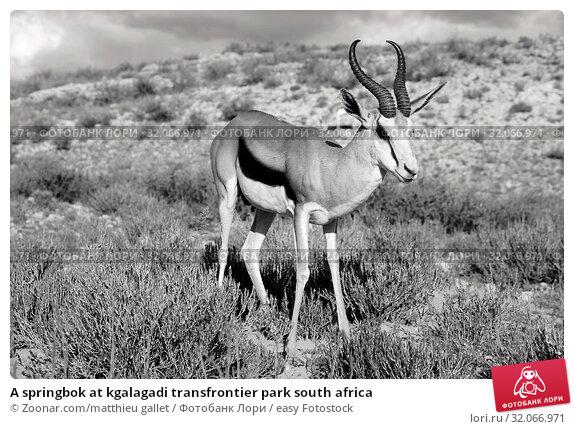 A springbok at kgalagadi transfrontier park south africa. Стоковое фото, фотограф Zoonar.com/matthieu gallet / easy Fotostock / Фотобанк Лори