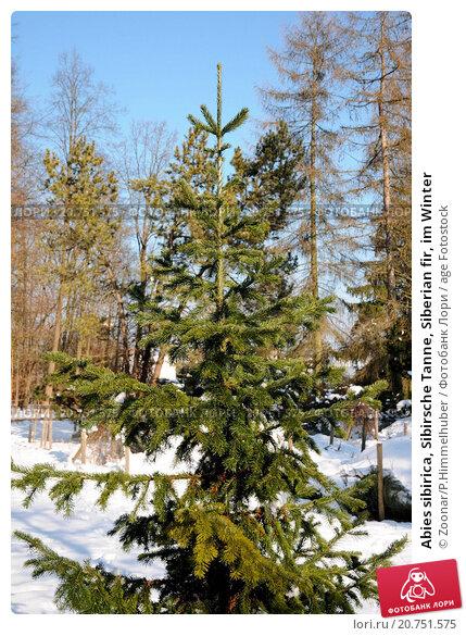 Купить «Abies sibirica, Sibirsche Tanne, Siberian fir, im Winter», фото № 20751575, снято 21 июня 2019 г. (c) age Fotostock / Фотобанк Лори