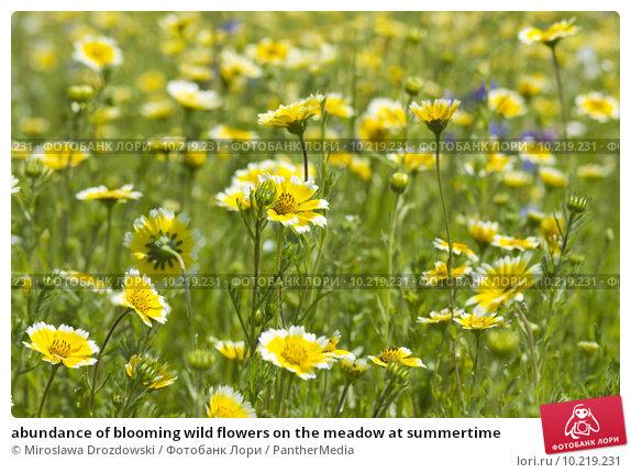 Купить «abundance of blooming wild flowers on the meadow at summertime », фото № 10219231, снято 23 марта 2019 г. (c) PantherMedia / Фотобанк Лори