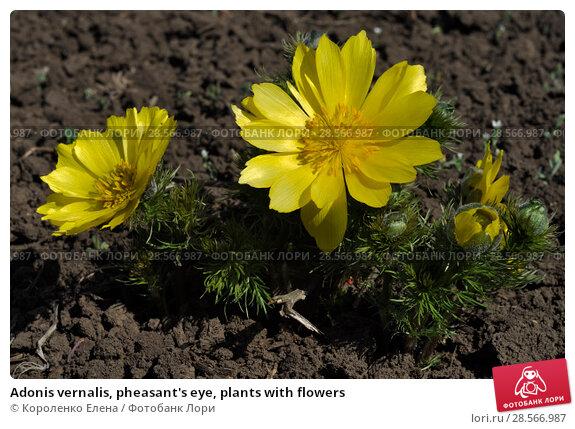 Купить «Adonis vernalis, pheasant's eye, plants with flowers», фото № 28566987, снято 11 апреля 2018 г. (c) Короленко Елена / Фотобанк Лори