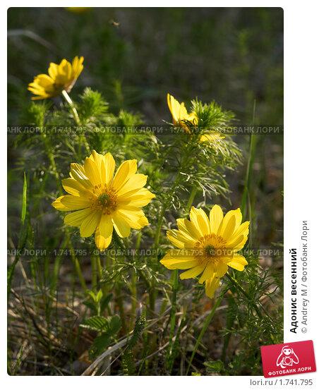 Купить «Адонис весенний», фото № 1741795, снято 12 мая 2010 г. (c) Andrey M / Фотобанк Лори