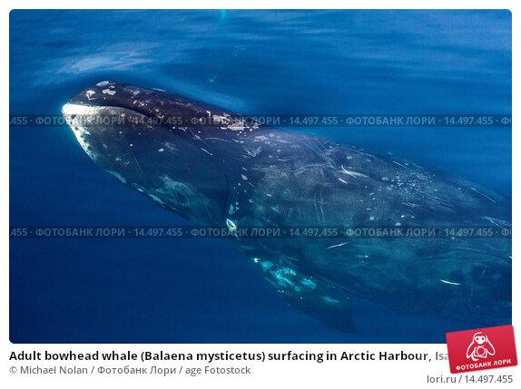 Купить «Adult bowhead whale (Balaena mysticetus) surfacing in Arctic Harbour, Isabella Bay, Baffin Island, Nunavut, Canada, North America», фото № 14497455, снято 20 октября 2019 г. (c) age Fotostock / Фотобанк Лори