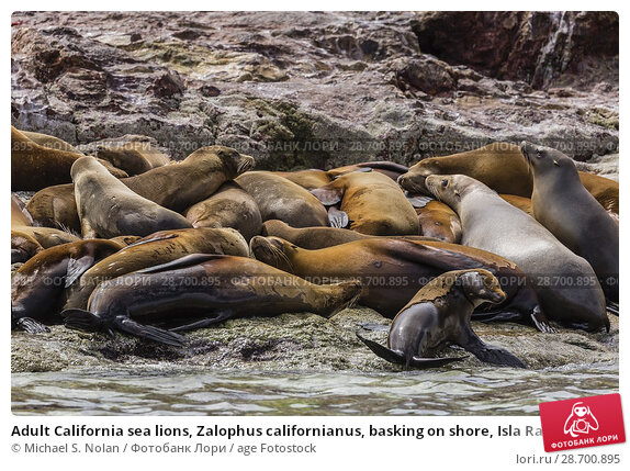 Купить «Adult California sea lions, Zalophus californianus, basking on shore, Isla Rasa, Baja California, Mexico.», фото № 28700895, снято 7 апреля 2016 г. (c) age Fotostock / Фотобанк Лори