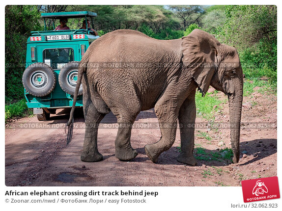 African elephant crossing dirt track behind jeep. Стоковое фото, фотограф Zoonar.com/nwd / easy Fotostock / Фотобанк Лори