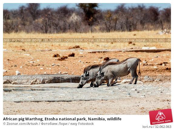 African pig Warthog, Etosha national park, Namibia, wildlife. Стоковое фото, фотограф Zoonar.com/Artush / easy Fotostock / Фотобанк Лори