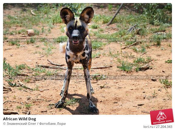 Купить «African Wild Dog», фото № 27204343, снято 6 февраля 2016 г. (c) Знаменский Олег / Фотобанк Лори