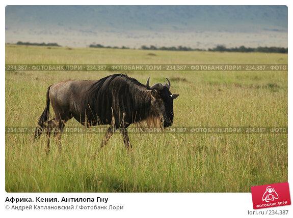 Африка. Кения. Антилопа Гну, фото № 234387, снято 12 февраля 2005 г. (c) Андрей Каплановский / Фотобанк Лори