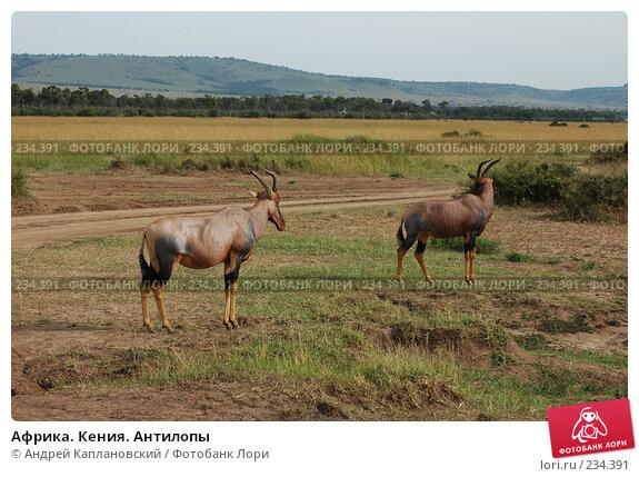 Купить «Африка. Кения. Антилопы», фото № 234391, снято 13 февраля 2005 г. (c) Андрей Каплановский / Фотобанк Лори