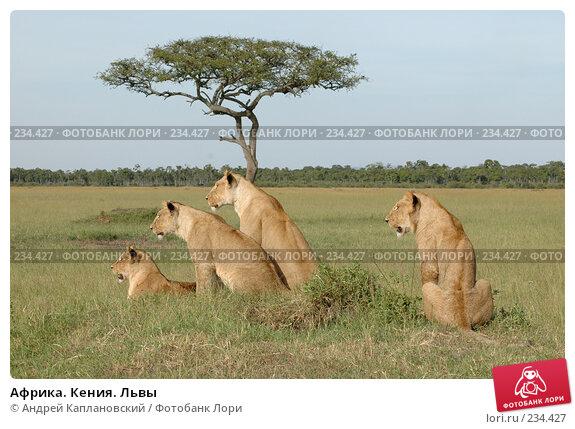 Африка. Кения. Львы, фото № 234427, снято 12 февраля 2005 г. (c) Андрей Каплановский / Фотобанк Лори