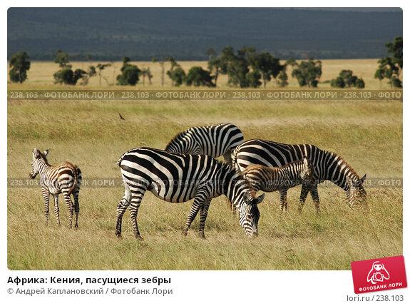 Купить «Африка: Кения, пасущиеся зебры», фото № 238103, снято 16 февраля 2005 г. (c) Андрей Каплановский / Фотобанк Лори