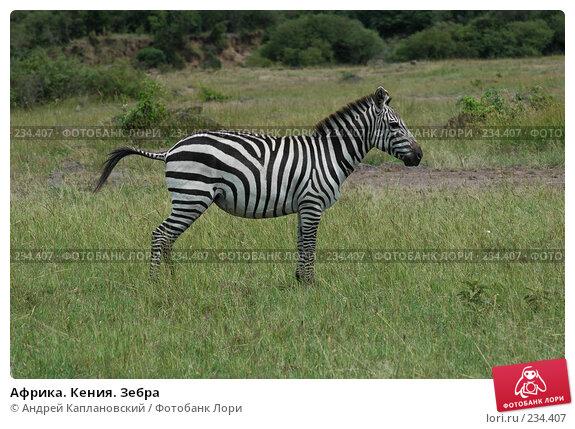 Африка. Кения. Зебра, фото № 234407, снято 13 февраля 2005 г. (c) Андрей Каплановский / Фотобанк Лори