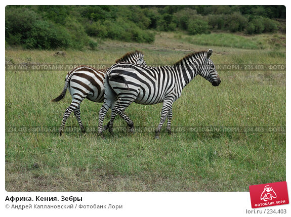 Африка. Кения. Зебры, фото № 234403, снято 13 февраля 2005 г. (c) Андрей Каплановский / Фотобанк Лори