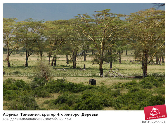 Африка: Танзания, кратер Нгоронгоро. Деревья, фото № 238171, снято 18 февраля 2005 г. (c) Андрей Каплановский / Фотобанк Лори