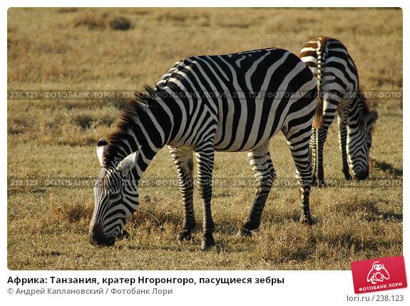 Африка: Танзания, кратер Нгоронгоро, пасущиеся зебры, фото № 238123, снято 18 февраля 2005 г. (c) Андрей Каплановский / Фотобанк Лори