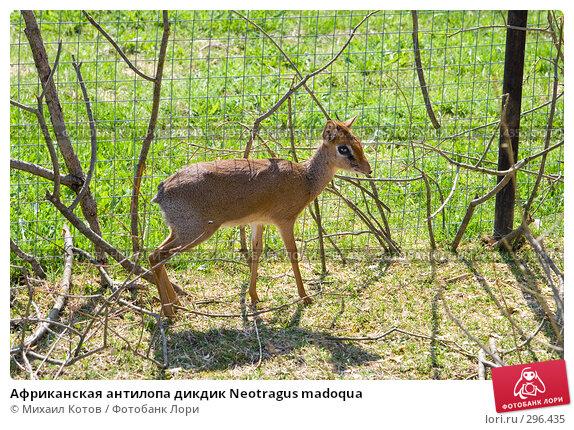 Африканская антилопа дикдик Neotragus madoqua, фото № 296435, снято 13 мая 2008 г. (c) Михаил Котов / Фотобанк Лори