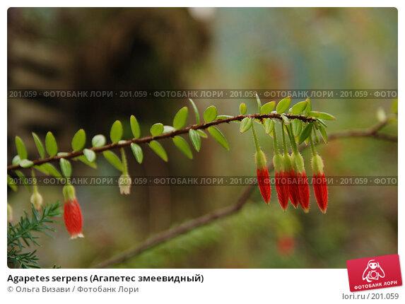 Agapetes serpens (Агапетес змеевидный), эксклюзивное фото № 201059, снято 9 февраля 2008 г. (c) Ольга Визави / Фотобанк Лори