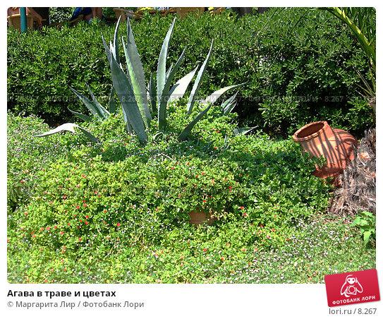 Агава в траве и цветах, фото № 8267, снято 15 июля 2006 г. (c) Маргарита Лир / Фотобанк Лори