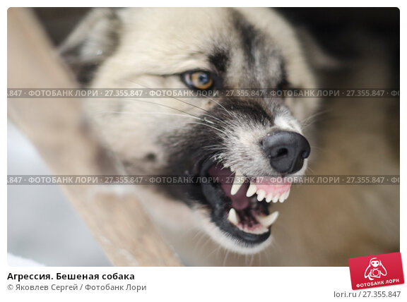 Купить «Агрессия. Бешенная собака», фото № 27355847, снято 28 февраля 2017 г. (c) Яковлев Сергей / Фотобанк Лори