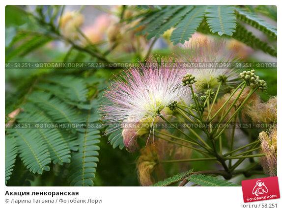 Акация ленкоранская, фото № 58251, снято 25 июня 2007 г. (c) Ларина Татьяна / Фотобанк Лори