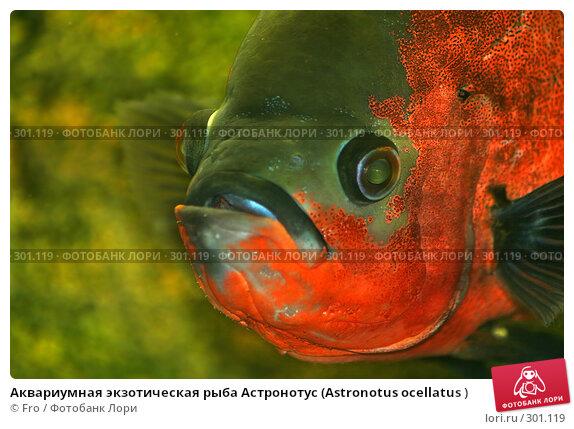 Аквариумная экзотическая рыба Астронотус (Astronotus ocellatus ), фото № 301119, снято 22 августа 2007 г. (c) Fro / Фотобанк Лори