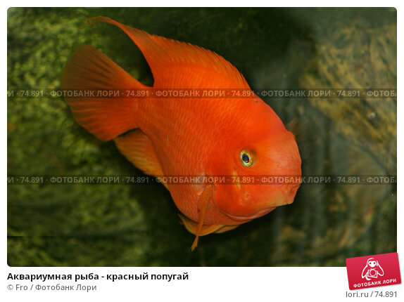 Аквариумная рыба - красный попугай, фото № 74891, снято 22 августа 2007 г. (c) Fro / Фотобанк Лори
