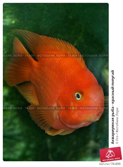 Аквариумная рыба - красный попугай, фото № 74899, снято 22 августа 2007 г. (c) Fro / Фотобанк Лори