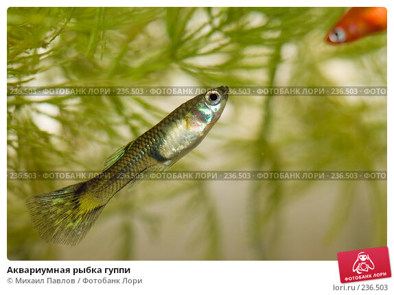 Аквариумная рыбка гуппи, фото № 236503, снято 28 марта 2008 г. (c) Михаил Павлов / Фотобанк Лори