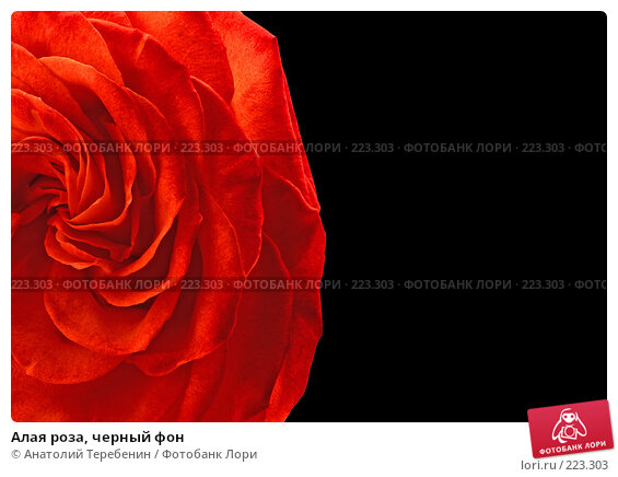Алая роза, черный фон, фото № 223303, снято 27 января 2008 г. (c) Анатолий Теребенин / Фотобанк Лори