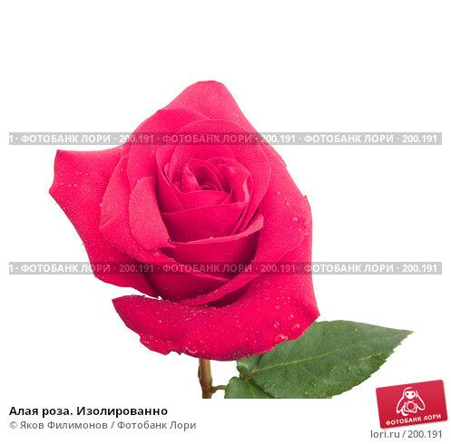 Алая роза. Изолированно, фото № 200191, снято 8 февраля 2008 г. (c) Яков Филимонов / Фотобанк Лори